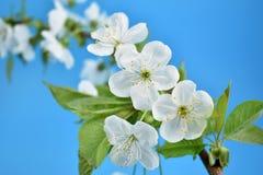 开花的苹果树分支股票图象 图库摄影