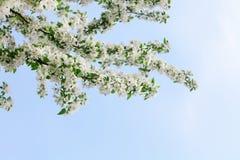 开花的苹果树分支角落、白花和绿色叶子在清楚的天空蔚蓝背景关闭,美丽的春天樱桃 免版税库存照片