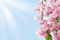 开花的苹果树分支边界、白色和桃红色花和绿色叶子在天空蔚蓝和太阳射线背景关闭  免版税库存照片