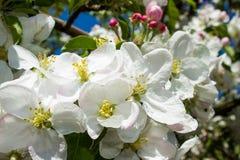 开花的苹果树分支  免版税库存图片