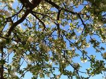开花的苹果树和天空 库存照片