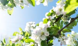 开花的苹果树和清楚的蓝天的分支 图库摄影