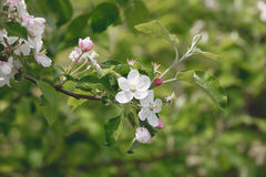 开花的苹果树在一个明亮的春日 免版税库存图片