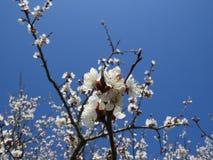 开花的苹果树在北高加索,唤醒的庭院里自然在春天 免版税库存图片