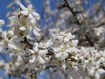 开花的苹果树在北高加索,唤醒的庭院里自然在春天 库存照片