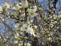 开花的苹果树在北高加索,唤醒的庭院里自然在春天 免版税图库摄影