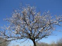 开花的苹果树在北高加索,唤醒的庭院里自然在春天 免版税库存照片