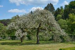 开花的苹果树在卢森堡 免版税库存照片