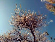 开花的苹果树在反对蓝天的春天 免版税库存照片