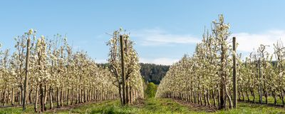 开花的苹果树在春天 德国,欧洲 : 库存照片