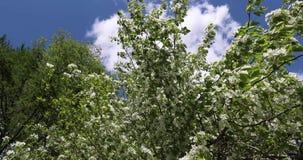 开花的苹果树在春天 苹果树美丽的白色和桃红色花在绿色和天空蔚蓝背景的  影视素材