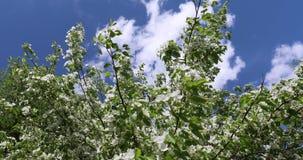 开花的苹果树在春天 苹果树美丽的白色和桃红色花在绿色和天空蔚蓝背景的  股票录像