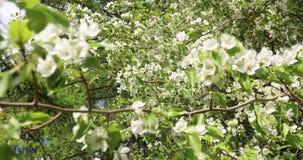 开花的苹果树在春天 苹果树美丽的白色和桃红色花在绿色和天空蔚蓝背景的  股票视频