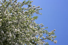开花的苹果树在春天 库存图片