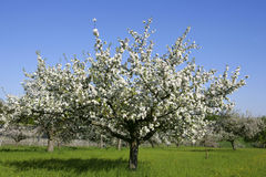 开花的苹果树在春天 免版税库存照片