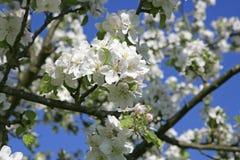 开花的苹果树在春天 图库摄影