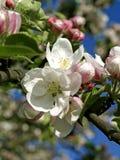 开花的苹果树在春天 库存照片