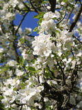 开花的苹果树在春天 免版税图库摄影