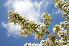 开花的苹果树在蓝天背景分支 免版税库存照片