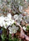 开花的苹果树在5月 免版税库存照片