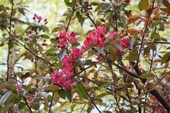 开花的苹果树接近的看法  免版税库存照片