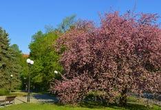 开花的苹果树春天在公园 免版税库存照片