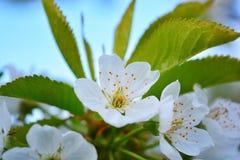 开花的苹果树照片分支反对蓝天 免版税库存照片