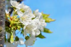 开花的苹果树照片分支反对蓝天 图库摄影