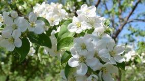 开花的苹果树特写镜头 库存照片