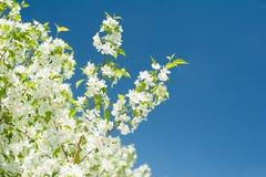 开花的苹果树白色分支在蓝天背景的 库存照片