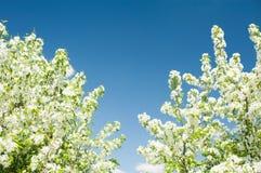 开花的苹果树白色分支在蓝天背景的 免版税库存图片