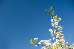 开花的苹果树白色分支在蓝天背景的 库存图片