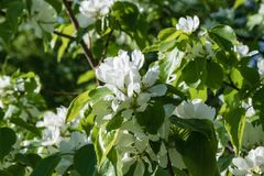 开花的苹果树的分支 库存照片