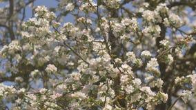 开花的苹果树的枝杈与俄国庭院的在村庄 鸟和活泼的村庄的声音