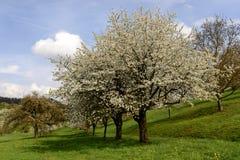 开花的苹果树的领域, baden 免版税库存照片