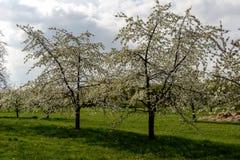 开花的苹果树线, baden 免版税库存照片