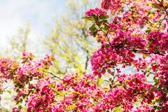 开花的苹果树罗盘星座'皇家秀丽' 免版税库存图片