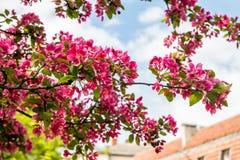 开花的苹果树罗盘星座'皇家秀丽' 免版税库存照片