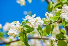 开花的苹果树,春天花 免版税库存照片