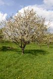 开花的苹果树, baden 库存图片