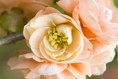 开花的苹果树 日本开花的crabapple 免版税图库摄影