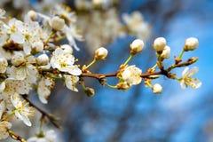 开花的苹果树 库存图片