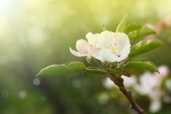开花的苹果树 免版税库存图片