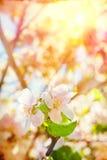 开花的苹果树Flovers在晚上instagram窗框的 免版税库存图片
