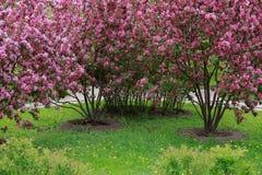 开花的苹果树Nedzewski在公园 库存图片