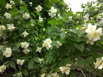 开花的苹果树ufter雨 图库摄影