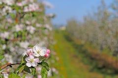 开花的苹果种植园 现代联盟一个年轻果树园在春天晴朗的下午的 一棵苹果树的花在被弄脏的b的 图库摄影