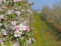 开花的苹果种植园 现代联盟一个年轻果树园在春天晴朗的下午的 一棵苹果树的花在被弄脏的b的 免版税库存照片
