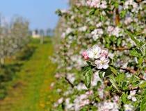 开花的苹果种植园 现代联盟一个年轻果树园在春天晴朗的下午的 一棵苹果树的花在被弄脏的b的 免版税库存图片