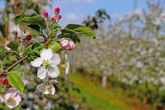 开花的苹果种植园 现代联盟一个年轻果树园在春天晴朗的下午的 一棵苹果树的花在被弄脏的b的 库存图片